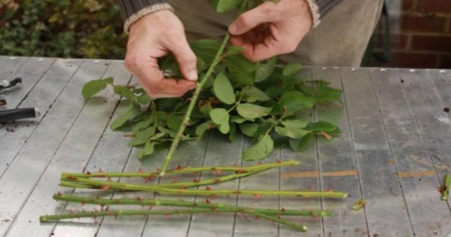 Több tucat új tövet szaporíthatsz egyetlen rózsatőből