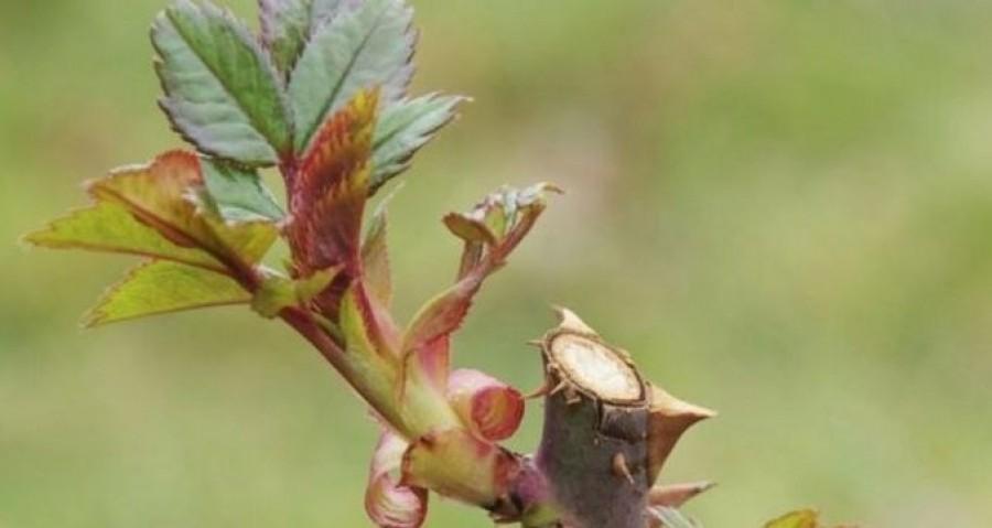 Így kell metszeni a rózsafajtákat!